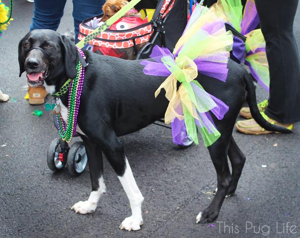 St. Louis Mardi Gras Beggin' Pet Parade 2016