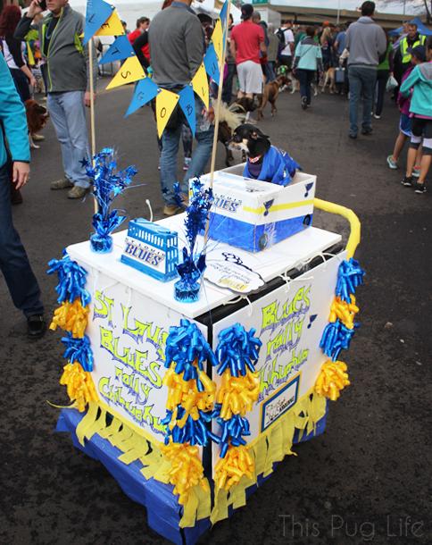 St. Louis Mardi Gras Beggin' Pet Parade 2016 Blues Chihuahua Zamboni