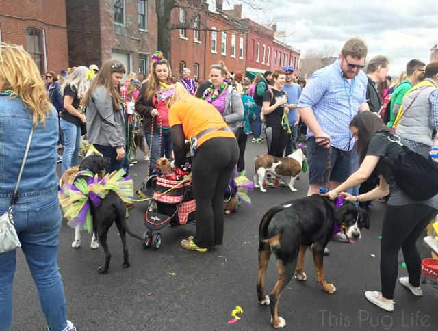 Beggin Pet Parade 2016 St. Louis Soulard Mardi Gras