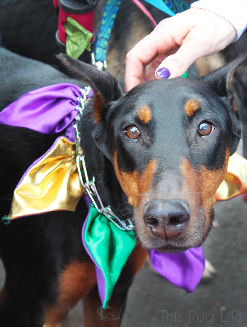 St. Louis Mardi Gras Beggin Pet Parade Doberman