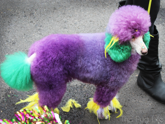 St. Louis Mardi Gras Beggin Pet Parade Dyed Toy Poodle