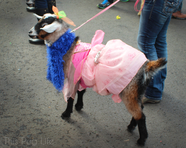 St. Louis Mardi Gras Beggin Pet Parade Goat in a Dress