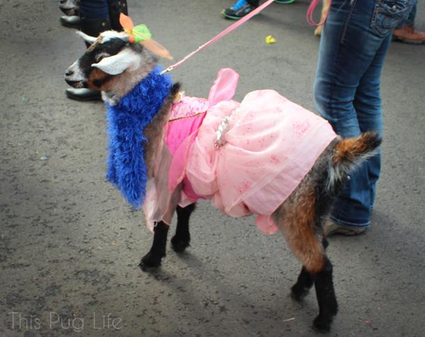 St. Louis Mardi Gras Beggin Pet Parade Goat in a Dress
