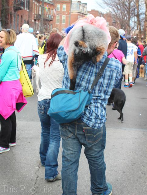 St. Louis Mardi Gras Beggin Pet Parade Goat