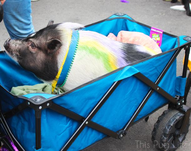 St. Louis Mardi Gras 2016 Beggin Pet Parade Pig