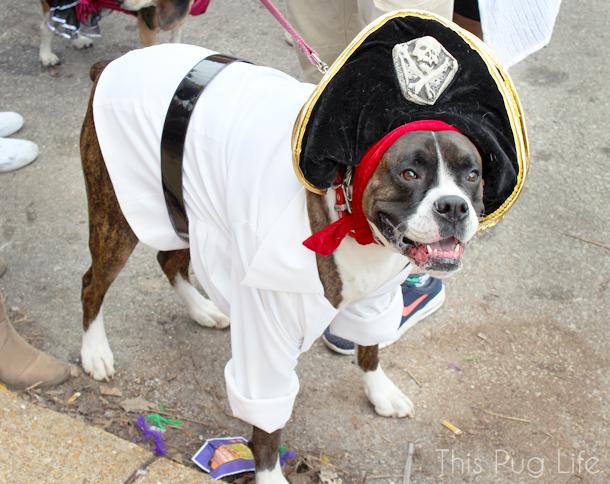 St. Louis Mardi Gras Beggin Pet Parade Pirate Boxer