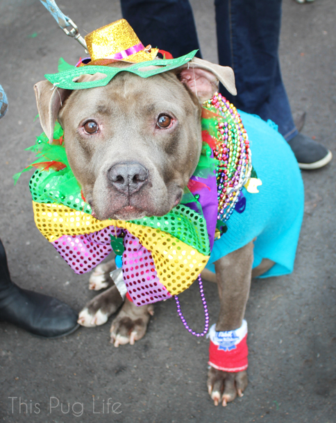 St. Louis Mardi Gras Beggin Pet Parade Pit Bull
