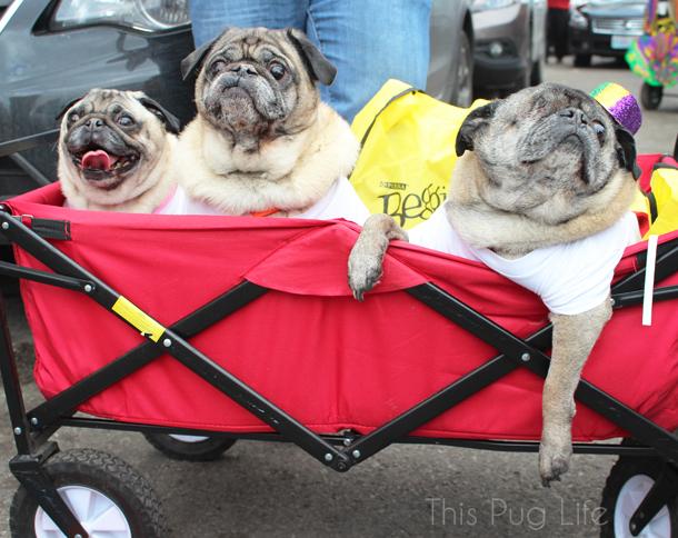 Beggin Pet Parade Pugs