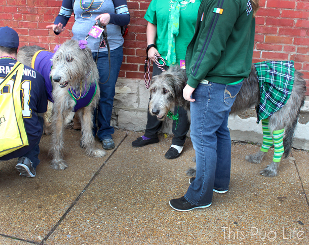 St. Louis Mardi Gras Beggin Pet Parade Wolfhounds