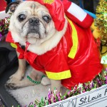 Fire Pugs at the 2016 Mardi Gras Beggin' Pet Parade (Part 1)