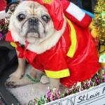 Fire Pugs at the 2016 Mardi Gras Beggin' Pet Parade (Part 1)