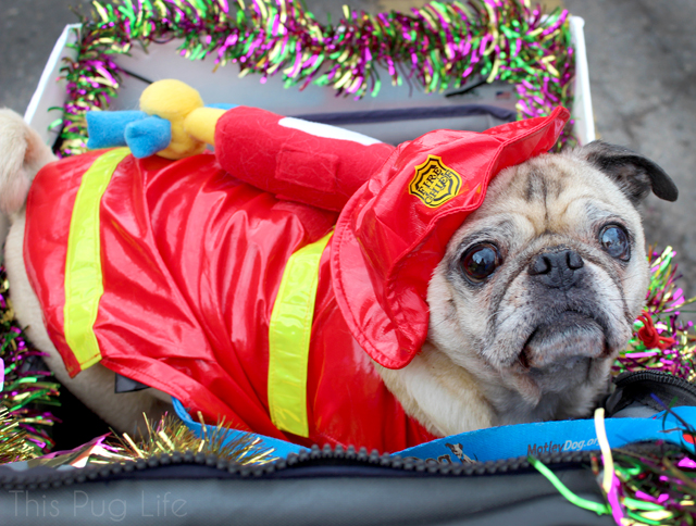 Fire Pug Firefighter Dog Costume Beggin' Pet Parade