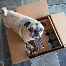 Pug Chewy.com Delivery