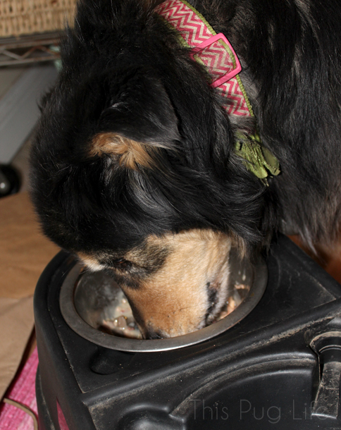 Dog Eating Tiki Dog Gourmet Carnivore