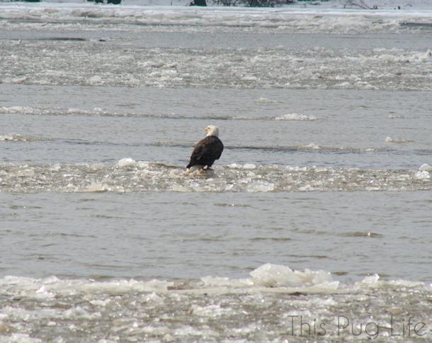 Bald Eagle on Mississippi River Ice Flow