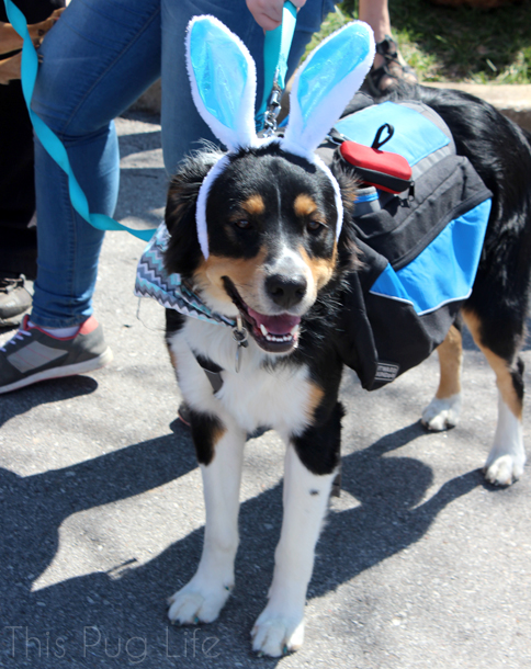 Easter Bunny Bernese Mountain Dog