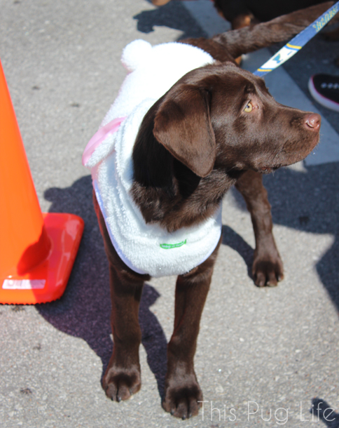 Easter Bunny Costume Chocolate Lab Puppy