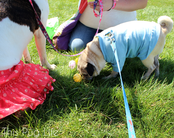 Treats Unleashed Easter Egg Hunt Pug
