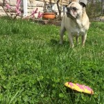 Pug Gets a Special Delivery from the Easter Bunny