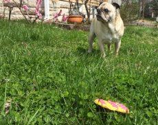 Pug Easter Egg Treat