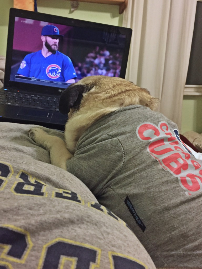 Pug in Chicago Cubs Shirt watching Cubs Game