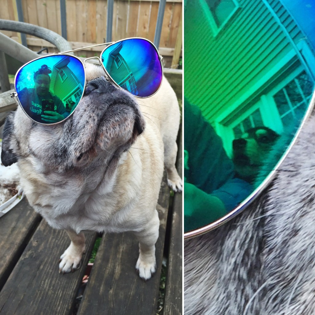 Pug in Aviator Sunglasses