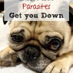 Heartworms, Fleas and Parasites – Oh My! #SentinelSpectrum