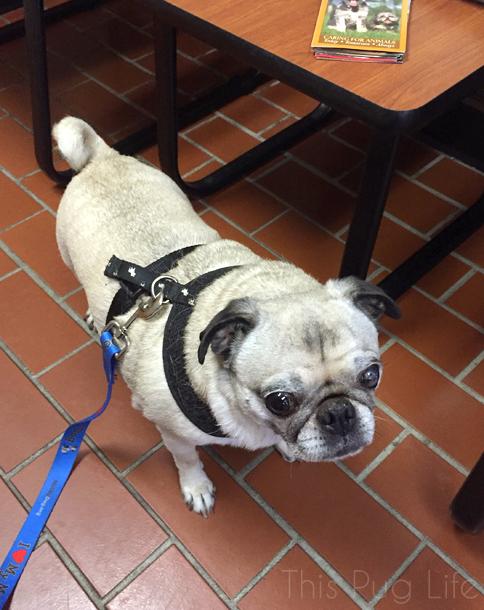 Pug Heartworm Test