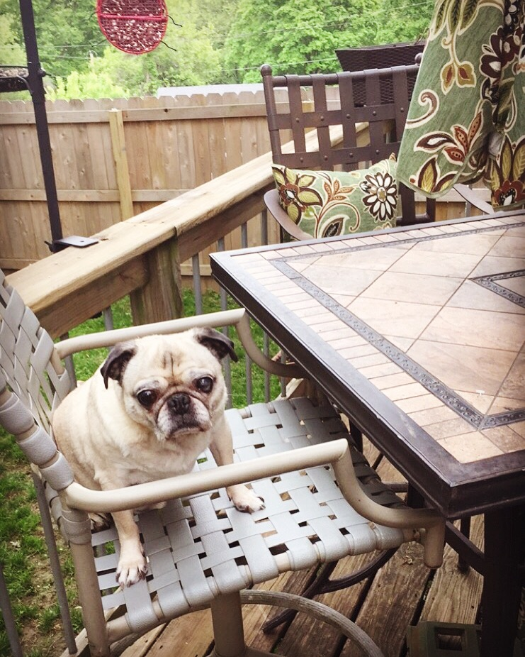 Pug Sitting in a Chair at a Patio Table