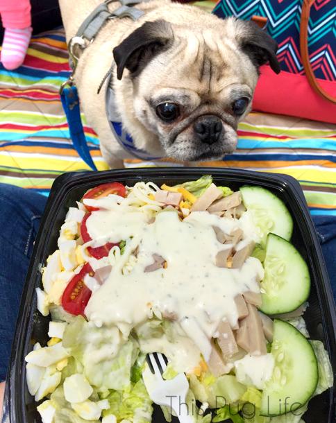 Pug Wants a Bite of my Salad