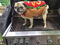 Hot Dog Pug on the Grill