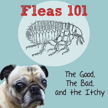 Fleas 101 The Good The Bad The Itchy