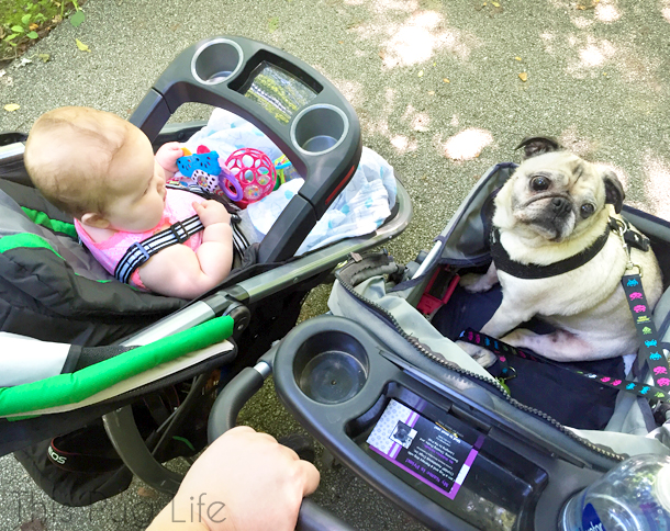 Pug and Baby in Strollers