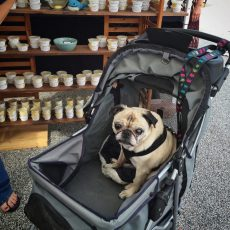 Pug in a stroller at the farmer's market