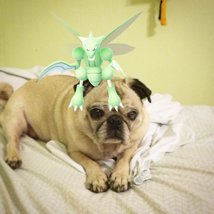 Pug Pokemon Go Scyther on head