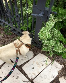 Pug Stops and Smells the Roses