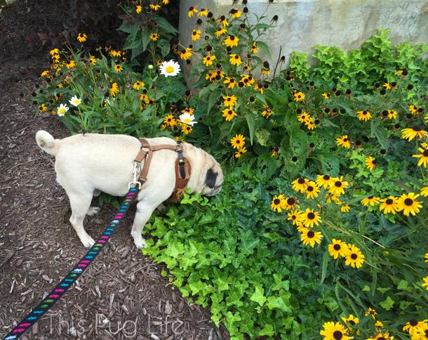 Pug Main Street Flowers2