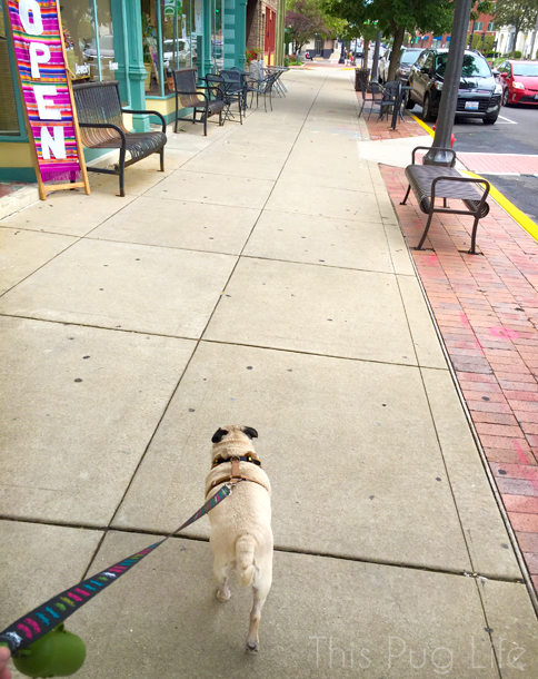 Pug Main Street2