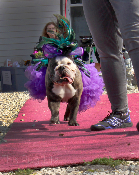 howloween-bulldog
