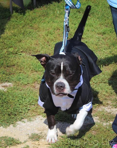 howloween-tuxedo-dog