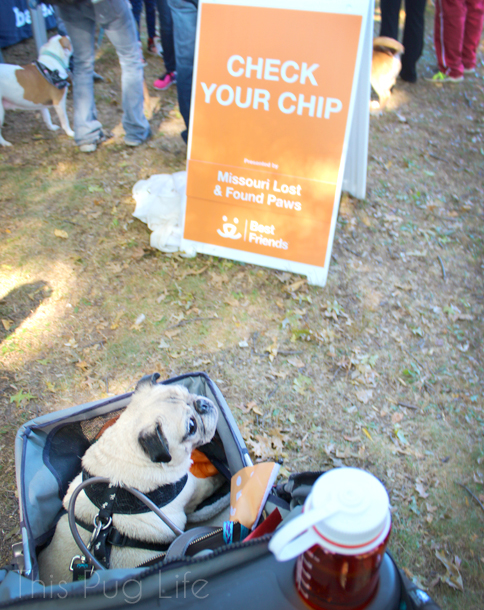 Strut Your Mutt Check Your Chip pug
