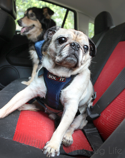 Pug and Molly Solvit Car Safety Harnesses