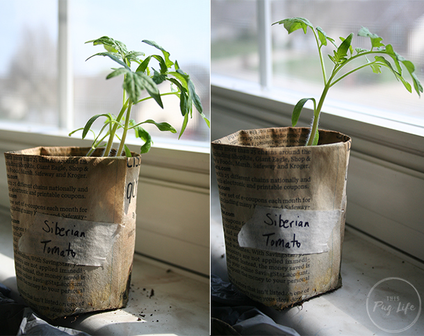 Thinning Seedlings Newspaper Seed Pots