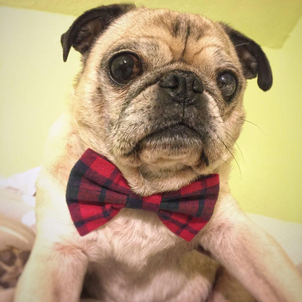 Pug Bow Tie