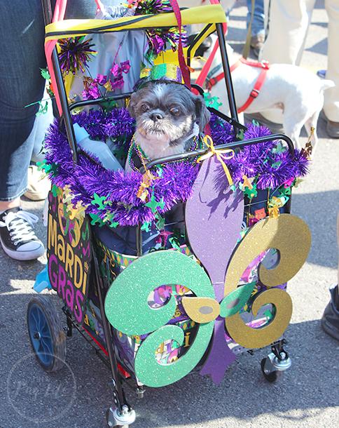 St. Louis Mardi Gras Beggin' Pet Parade