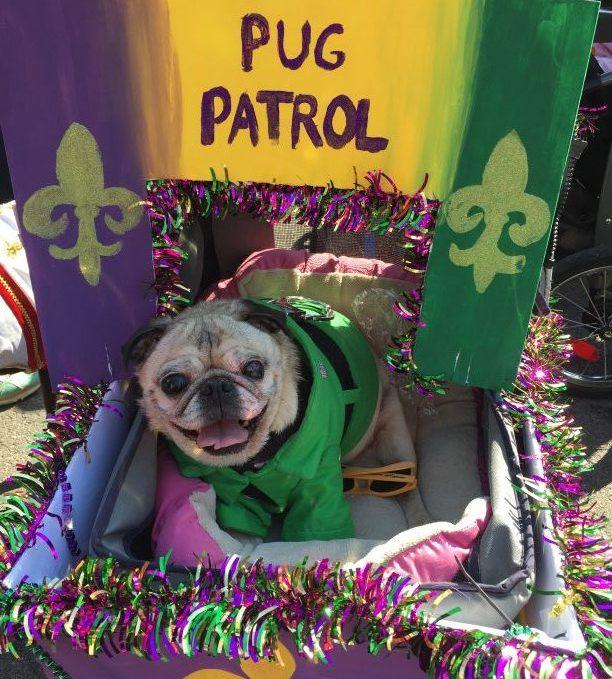 St. Louis Mardi Gras Beggin Pet Parade Pug Patrol