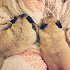 Pug and Pugs almost cuddling