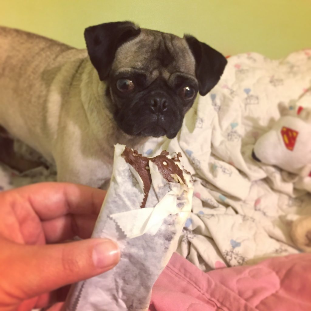 Pugs stolen ice cream sandwich