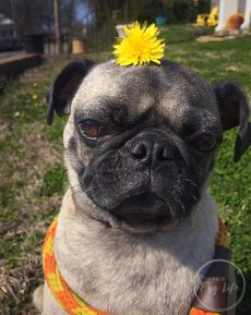Pugs Dandelion on Head