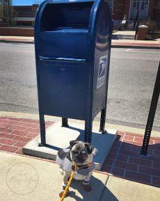 Pugs at the Mailbox